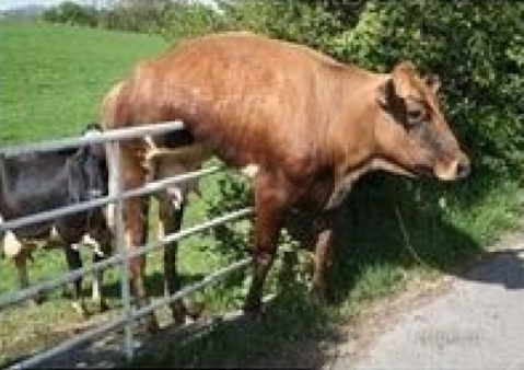 cow-fails-at-running-away-from-owner